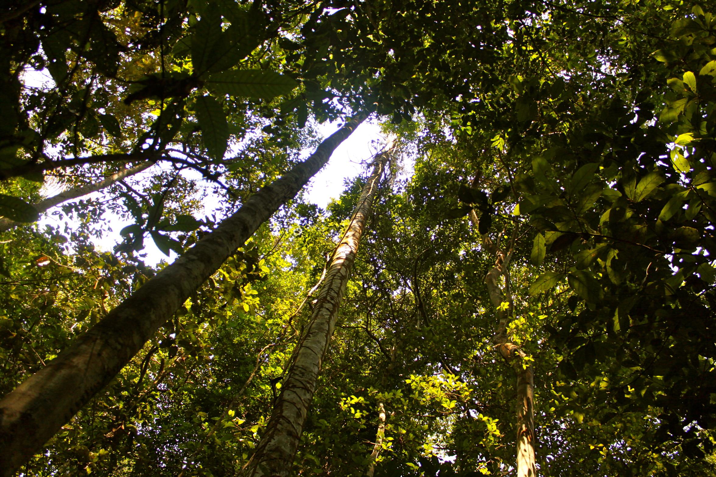 Canopy of the Amazon