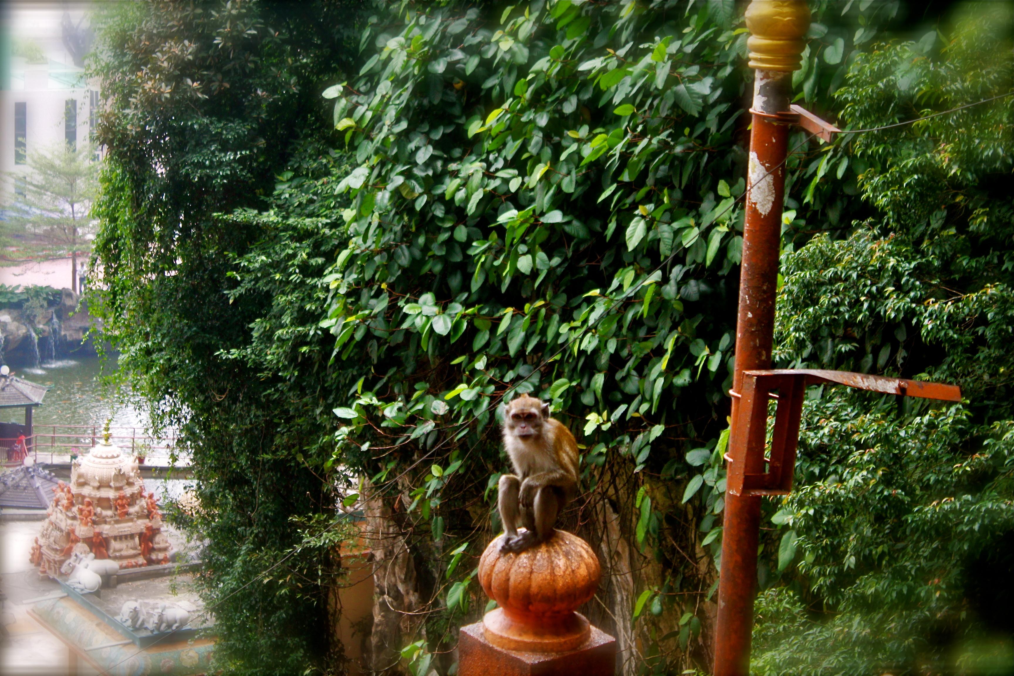 monkey Kuala Lumpur batu Caves malaysia