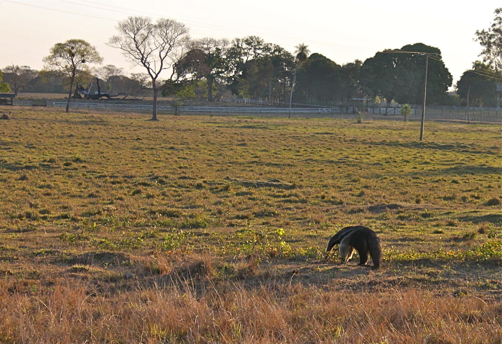 Giant anteater pantanal brazil