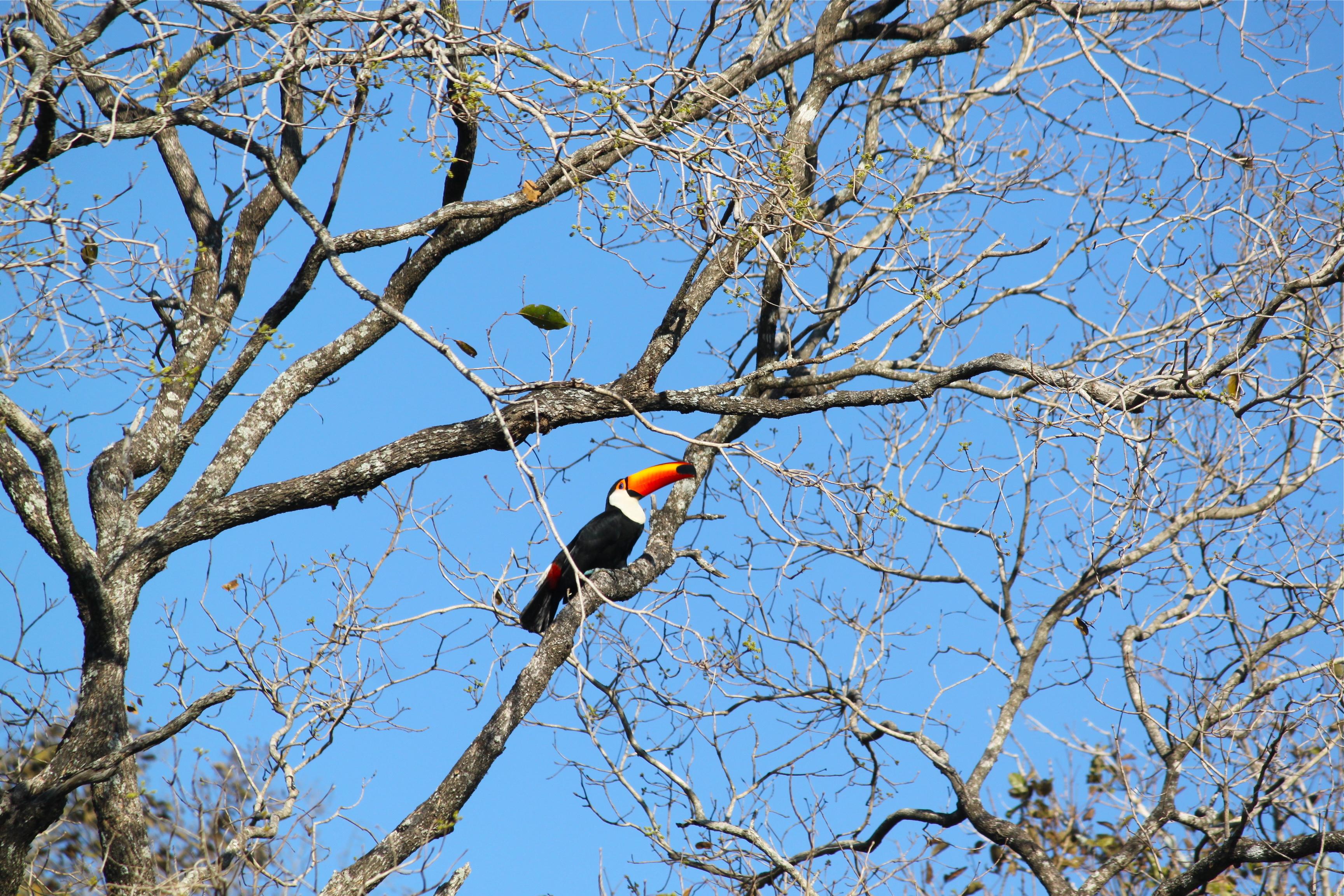 toucan pantanal brazil