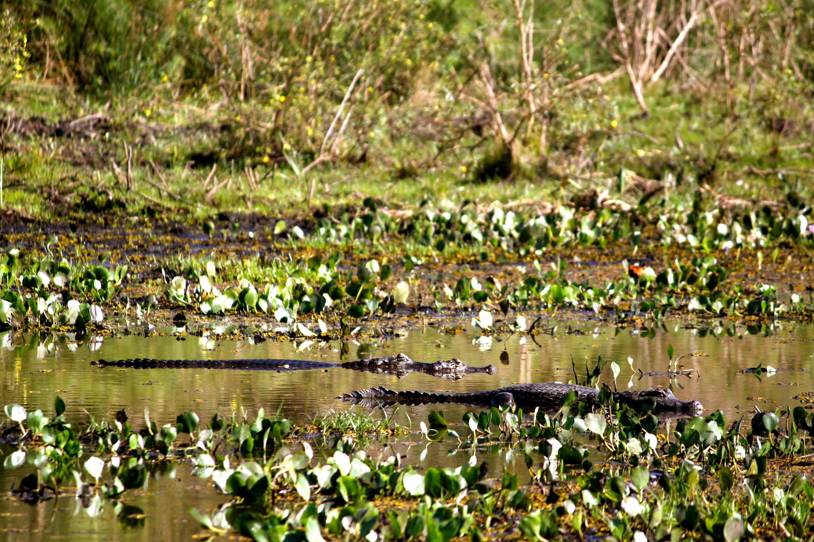 caiman pantanal brazil