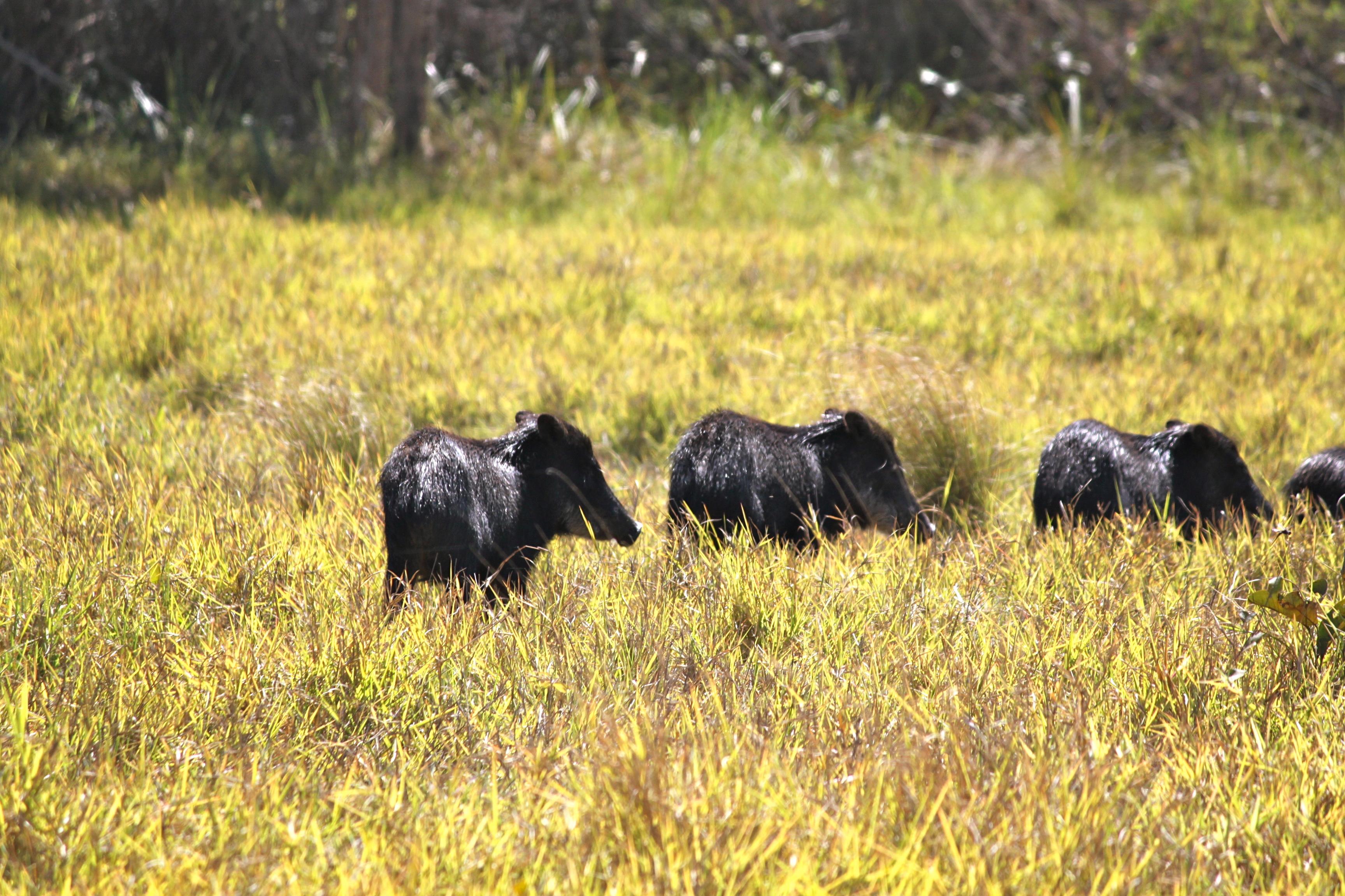 wild peccary pantanal brazil