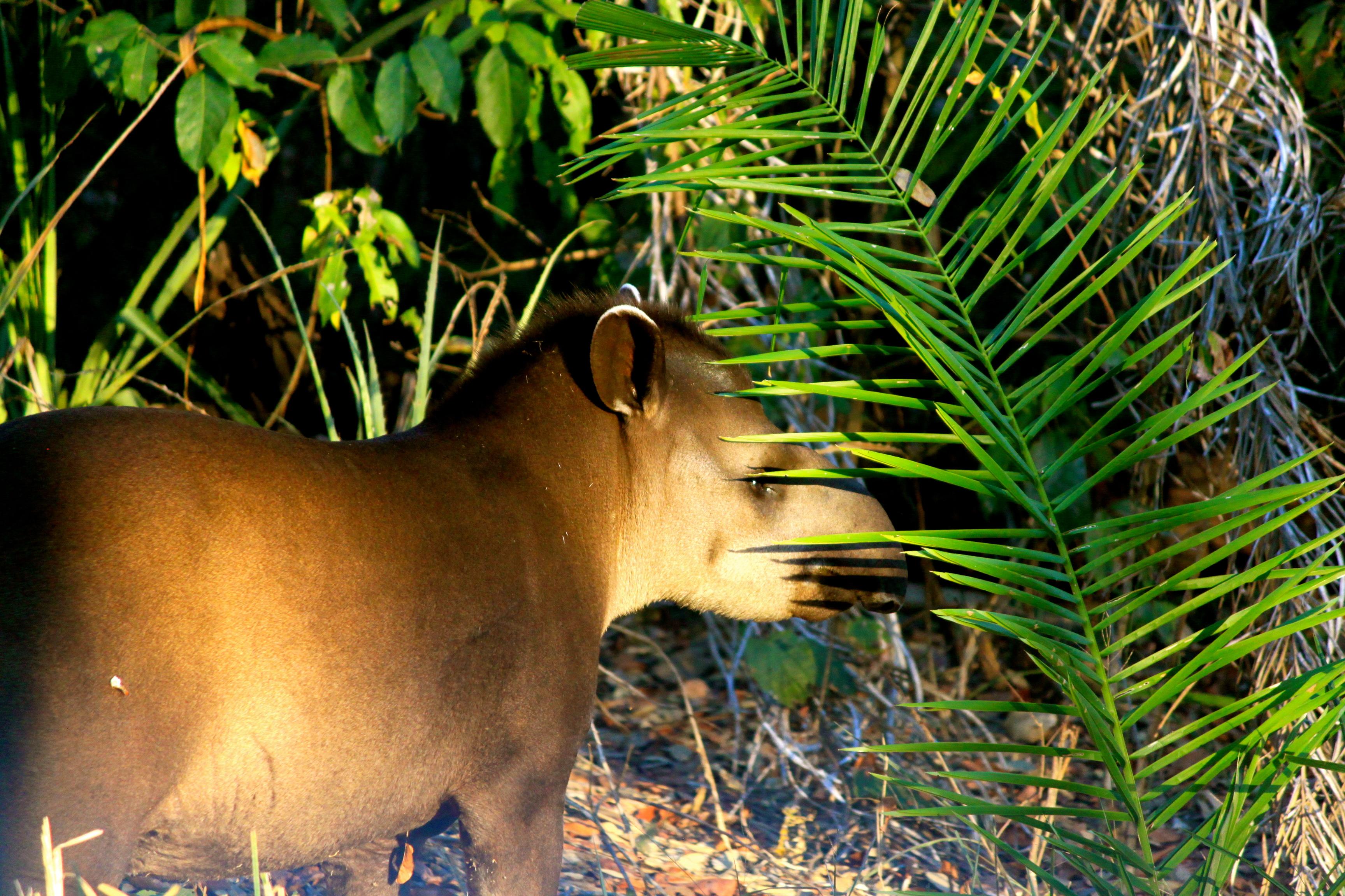 tapir pantanal brazil