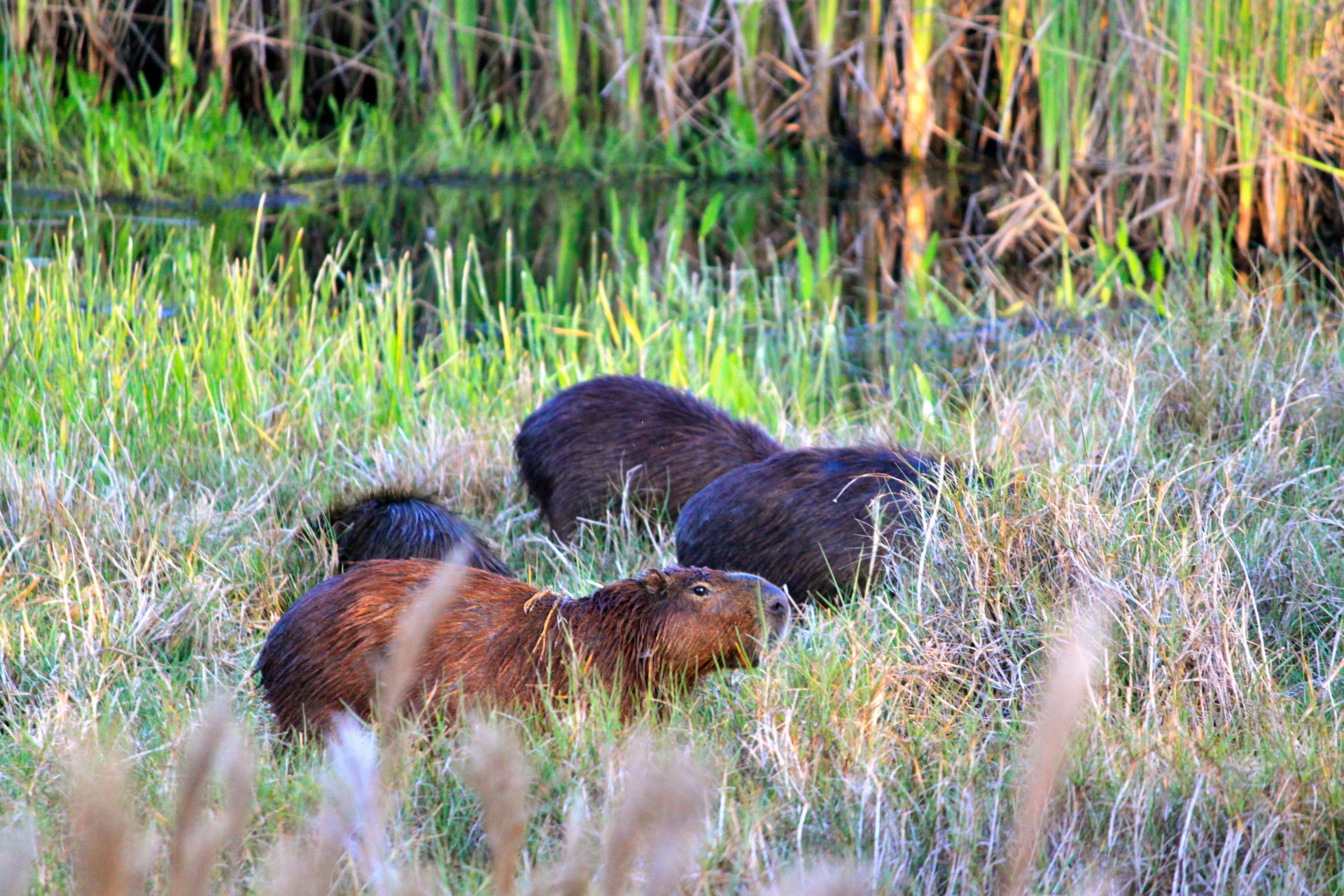 capybara pantanal brazil