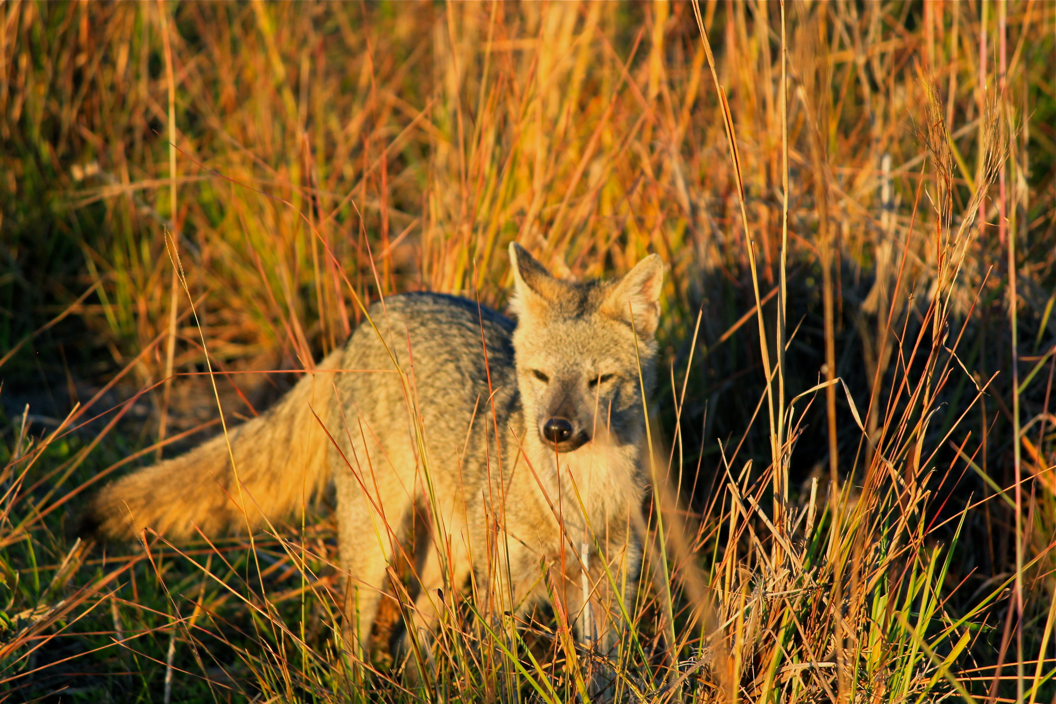 crab-eating fox pantanal brazil