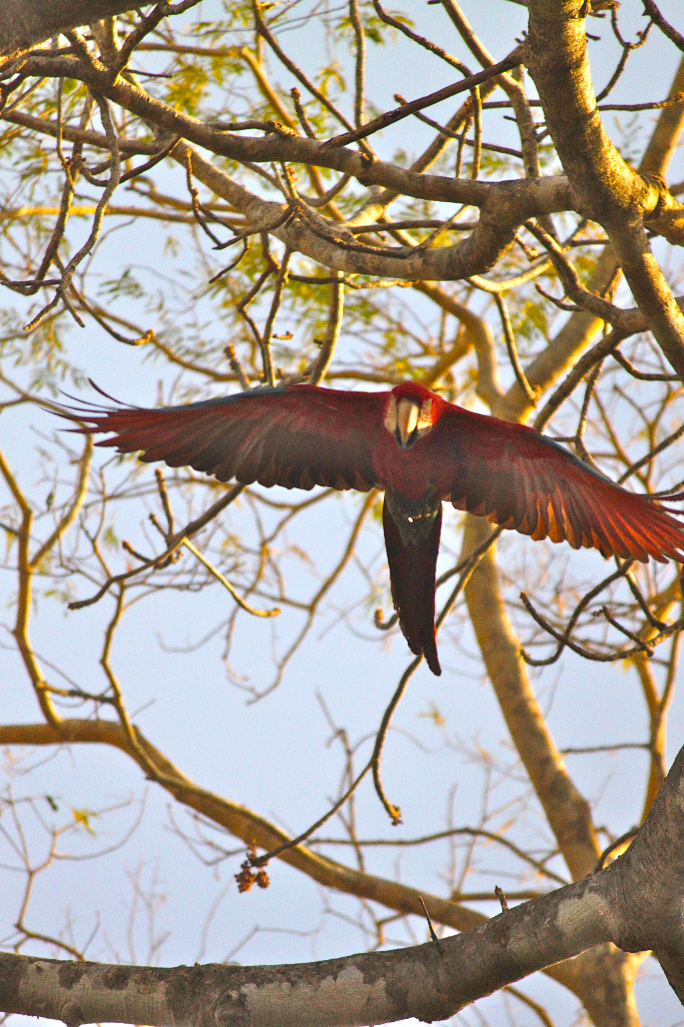 red and green macaw pantanal brazil