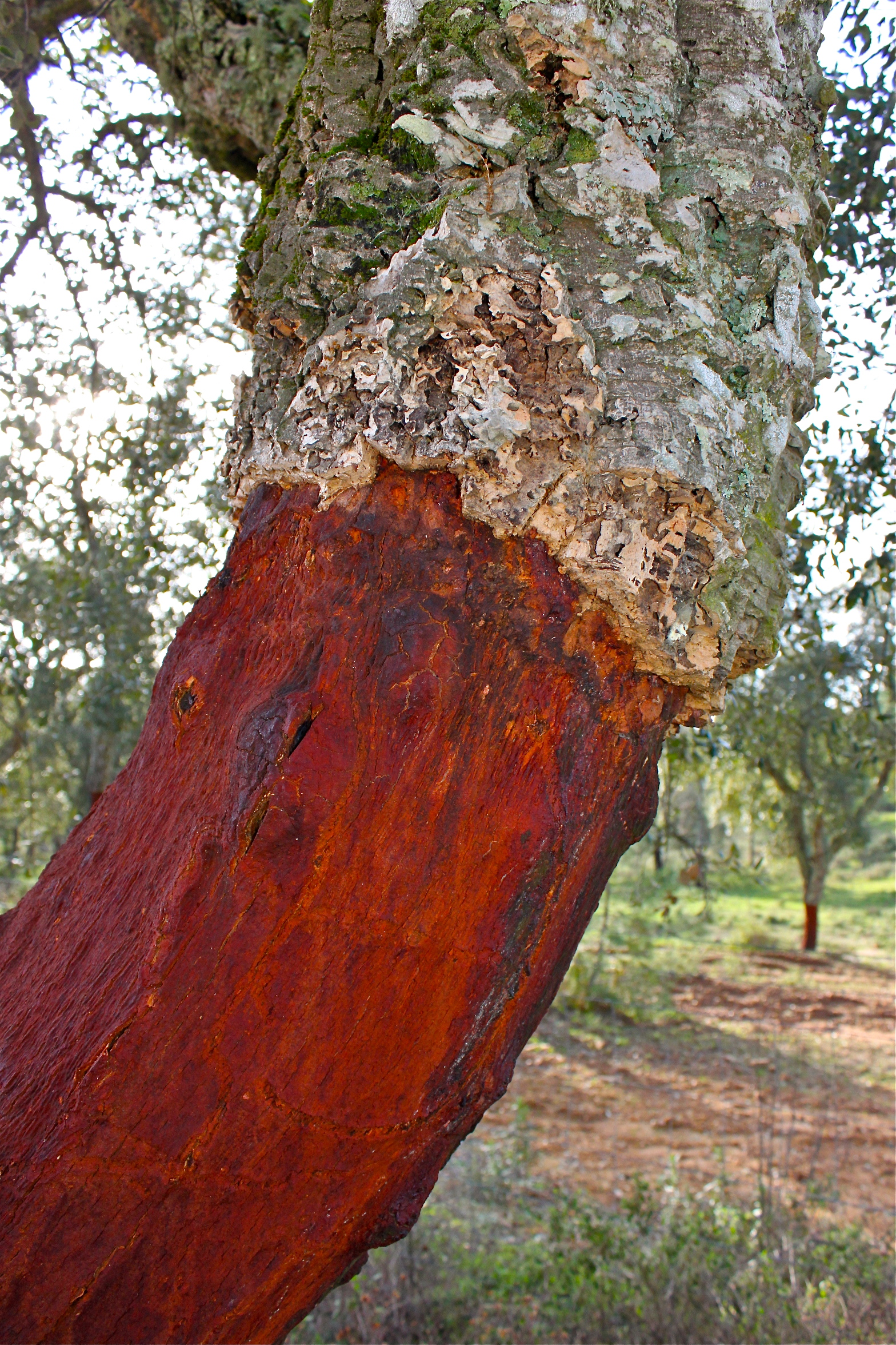 Cork forest Portugal