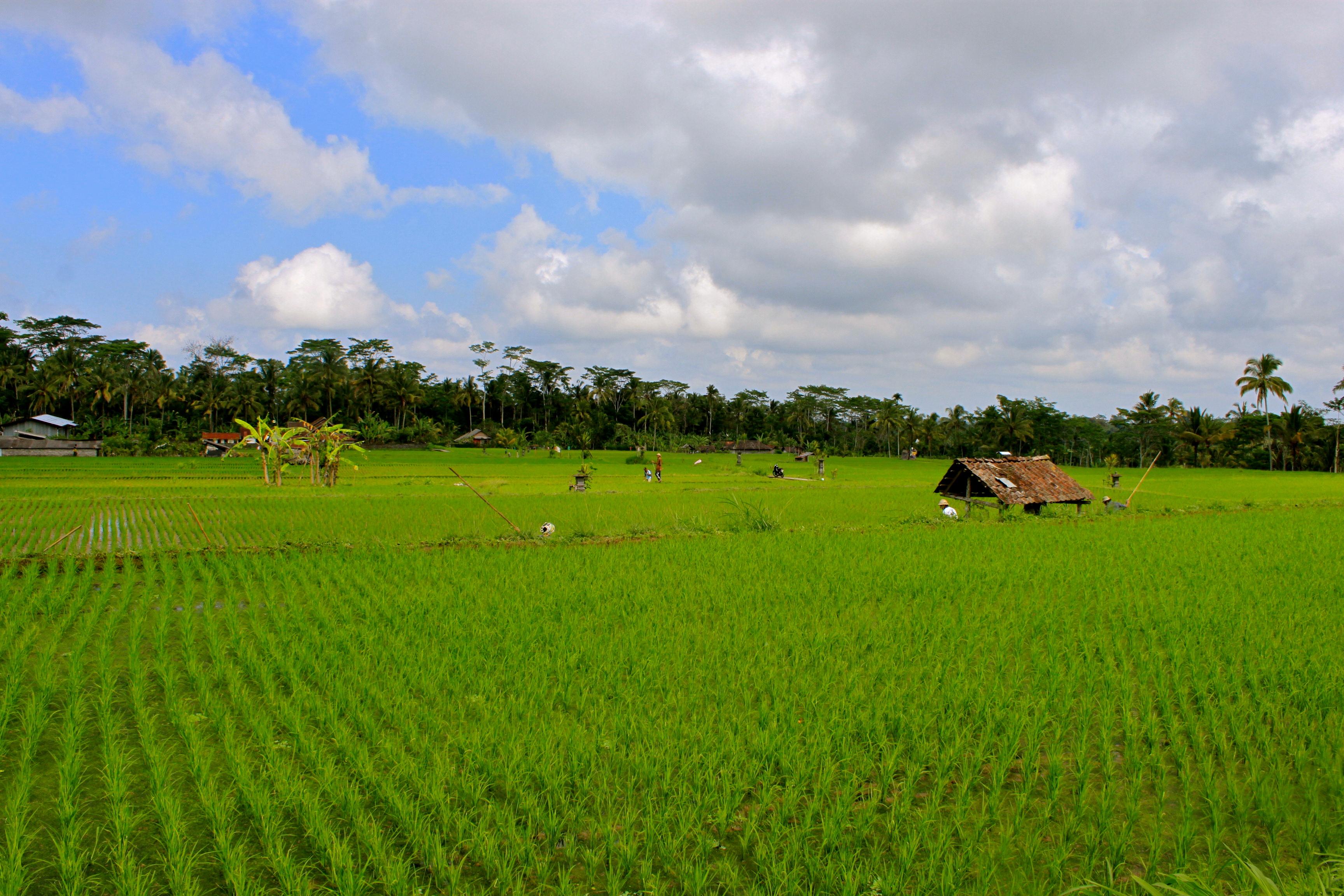 rice paddy bali