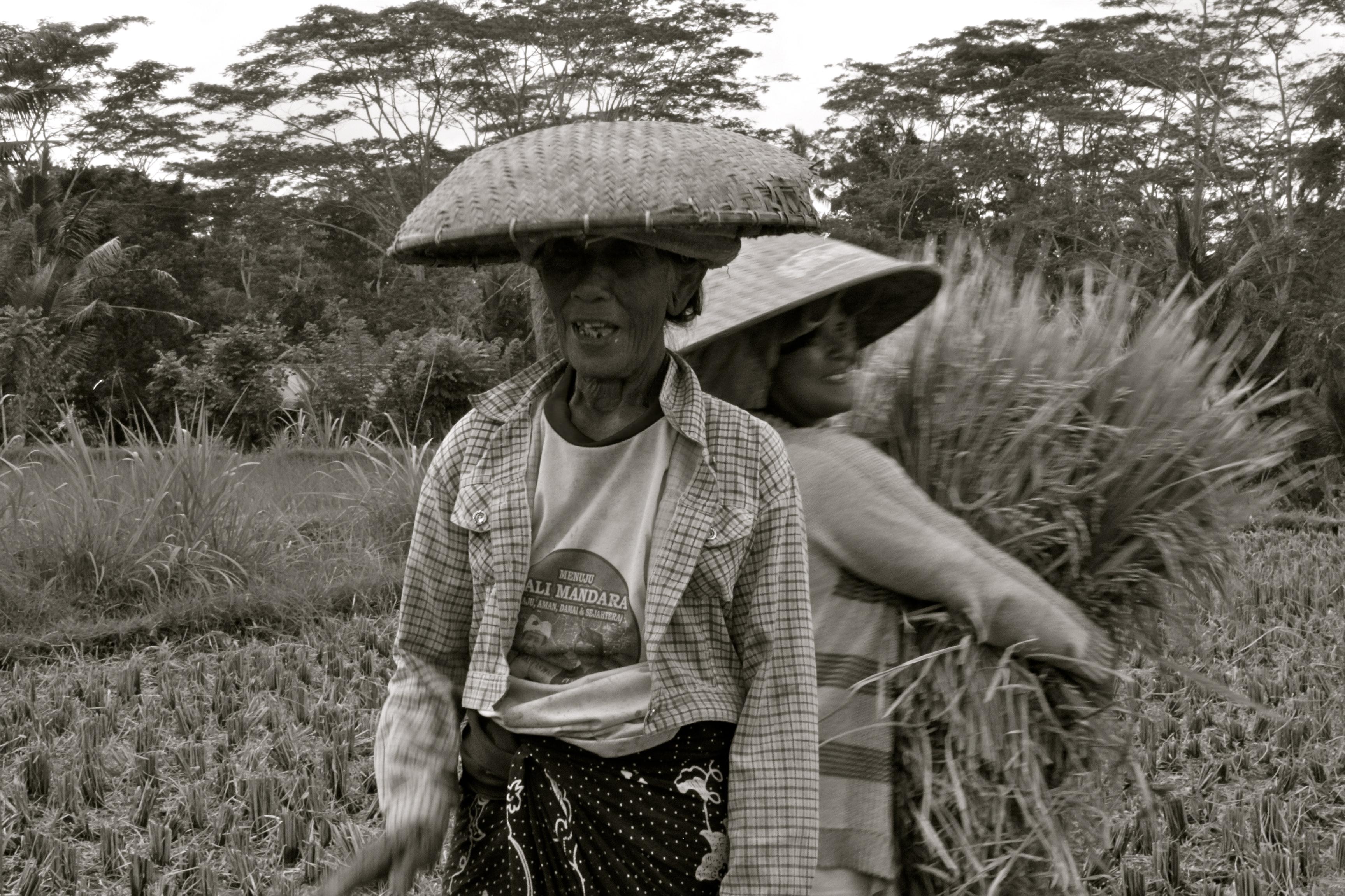 rice harvester bali