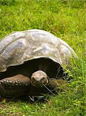 wild galapagos tortoise