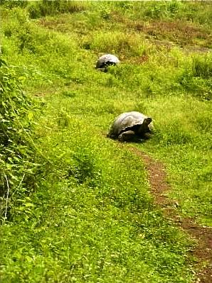 wild galapagos tortoise santa cruz