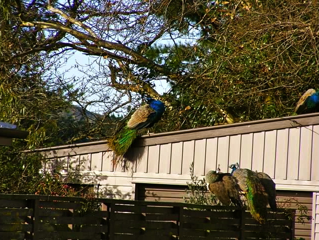 Peacocks.  Peacocks and drunkards.