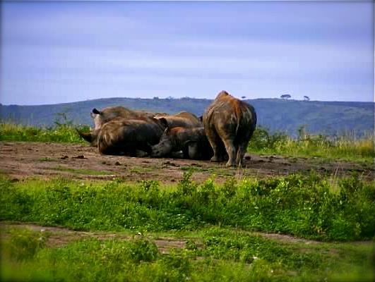 rhino hluhluwe imfolozi south africa