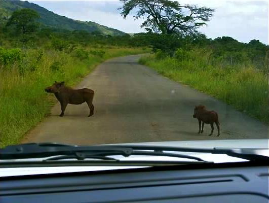 warthog hluhluwe imfolozi south africa