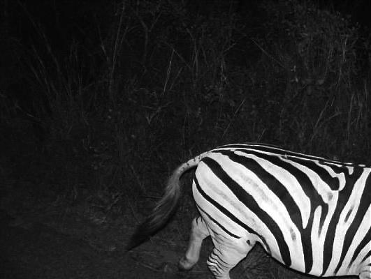 zebra hluhluwe imfolozi south africa