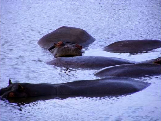 hippo st lucia wetlands south africa