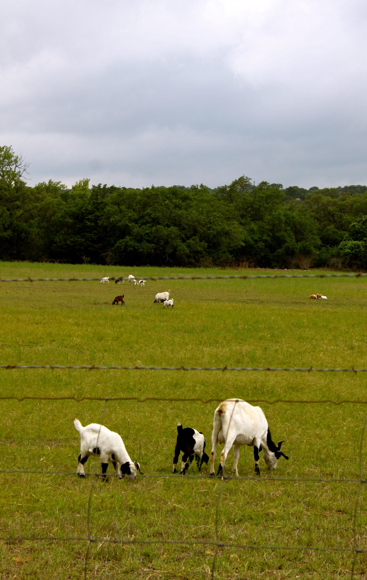 driftwood winery austin texas goats