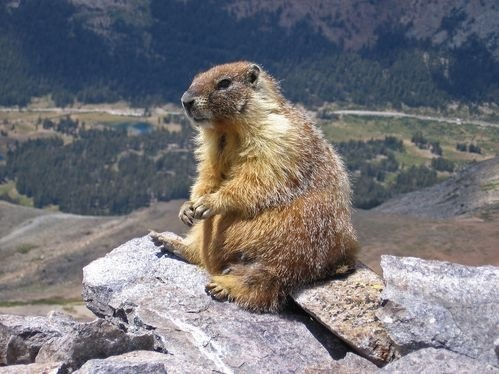 The horrifyingly vicious marmot, so we're all on the same page here.